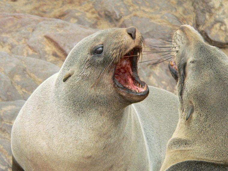 Seelöwen streiten