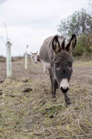 Esel im PSD Eichenwald